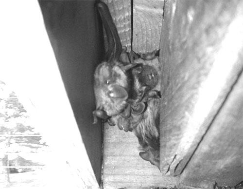 Attic Inspection Amp Bat Survey Camera Pk Nightvision